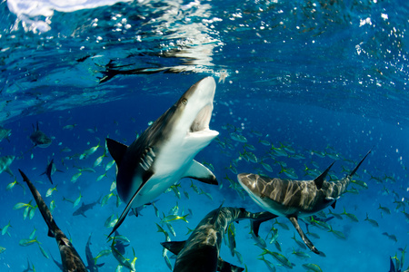Sharks near surface.