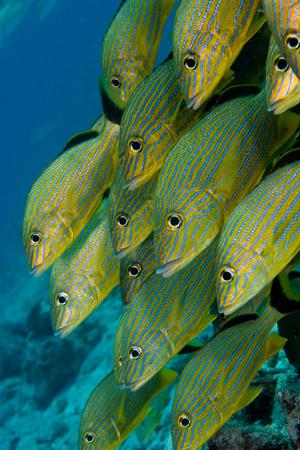 Schooling fish.