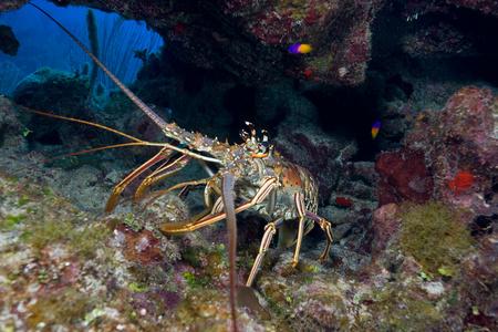Lobster in defense posture. LANG_EVOIMAGES