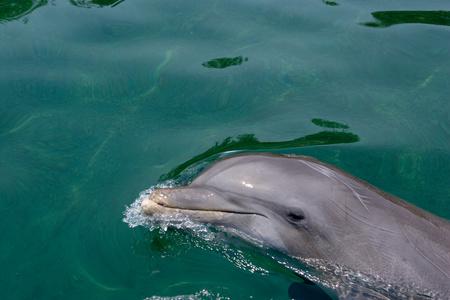 bottlenose: Atlantic bottlenose dolphin.