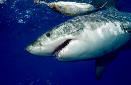 enraged: Great white shark.