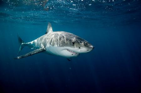 irritated: Great white shark.