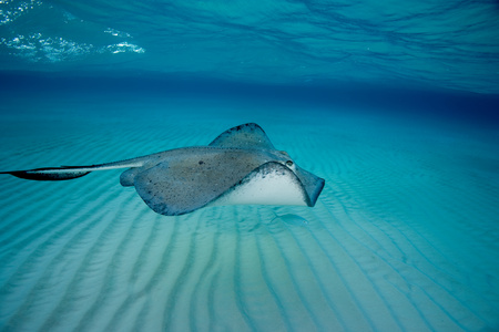 grays: Southern stingray in motion. LANG_EVOIMAGES
