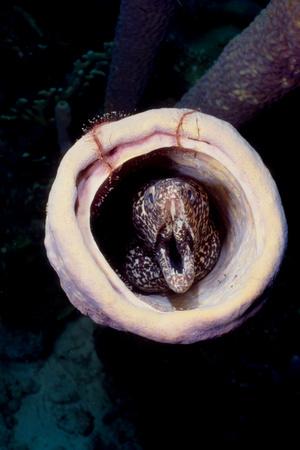 Moray eel in sponge.