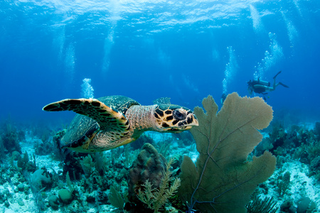 the americas: Hawksbill turtle on reef. LANG_EVOIMAGES