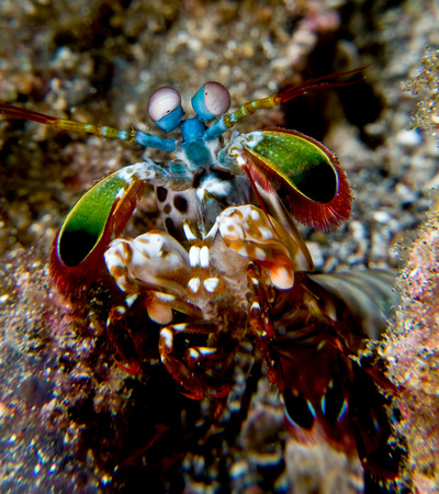 plead: Close-up of Mantis Shrimp. LANG_EVOIMAGES