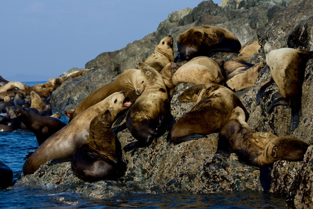 Group of California sea lions. LANG_EVOIMAGES