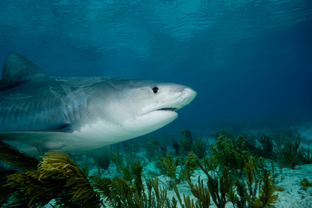Tiger shark. LANG_EVOIMAGES