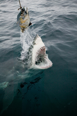 Great white shark and bait.