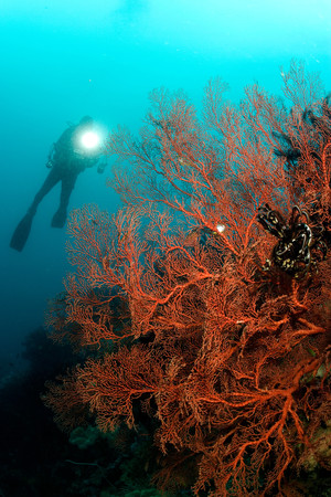 Diver and large gorgonian.