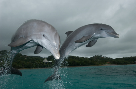 Dolphins leaping from water. LANG_EVOIMAGES