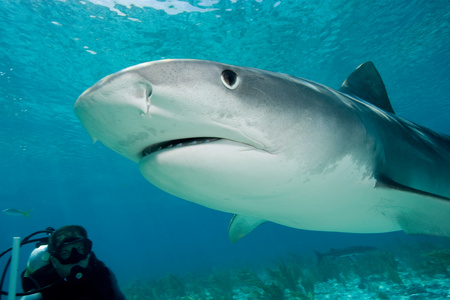 irritated: Tiger shark in the wild.