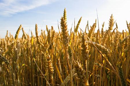 farmyards: Wheat field
