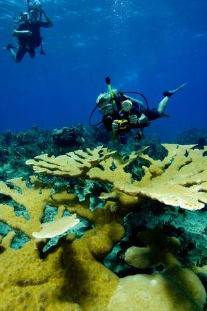 elkhorn coral: Divers with Elkhorn coral.