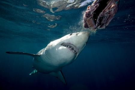 fuming: Great white shark.