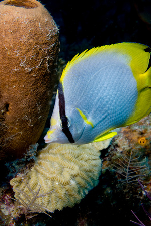 Spot fin butterfly fish on reef.