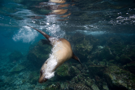 the americas: Sea lion in shallow water. LANG_EVOIMAGES