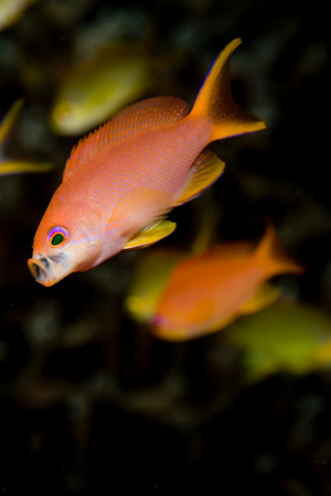 Anthias gathering food.