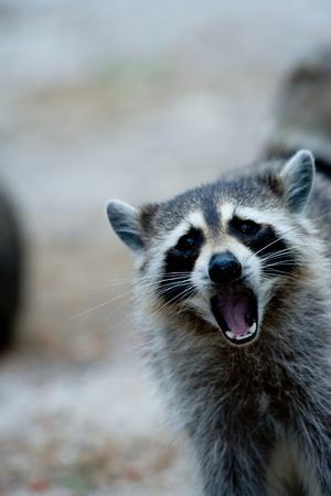 raccoons: Raccoon behavior.