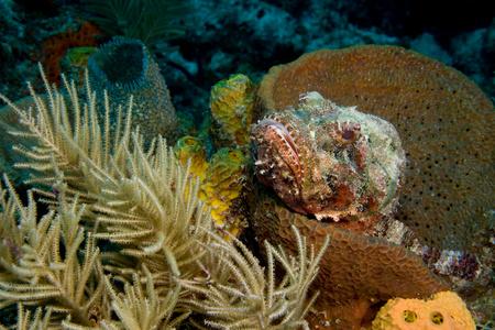 scorpionfish: Scorpionfish hiding in sponge.