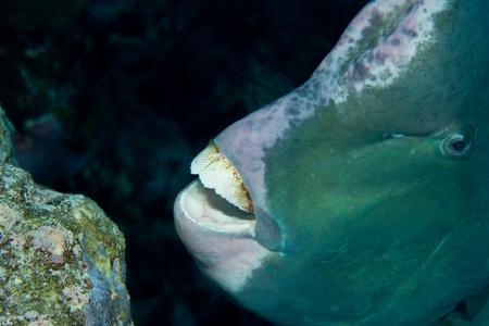 Close-up of Bumphead parrotfish,