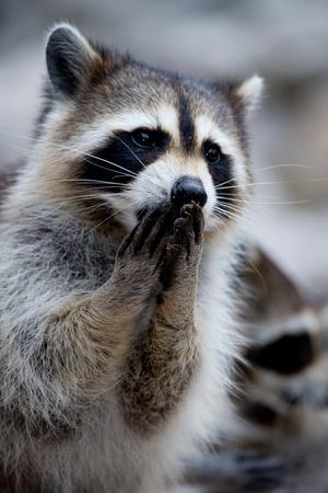 Close-up of raccoon.