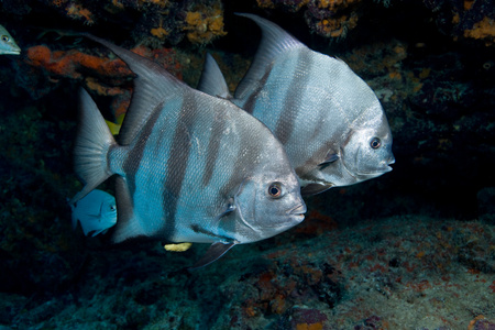 mirroring: Pair of Atlantic spadefish. LANG_EVOIMAGES