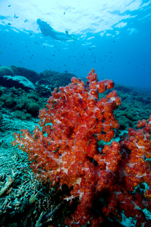Soft corals and diver. LANG_EVOIMAGES