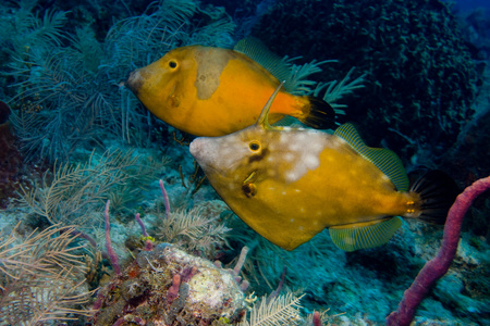 Pair of whitespotted filefish. LANG_EVOIMAGES