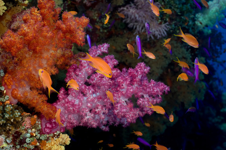 hard coral: Anthias and soft coral.