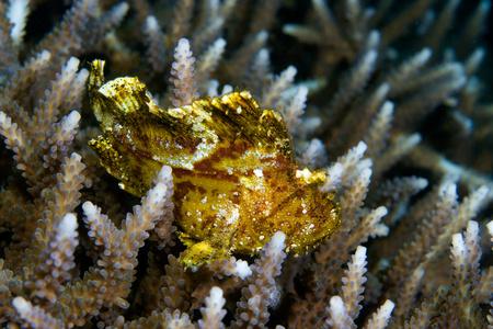 scorpionfish: Leaf scorpionfish on coral.