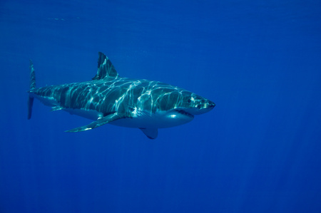 unsafe: Great white shark in the wild.