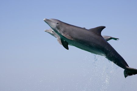 Leaping dolphin. LANG_EVOIMAGES