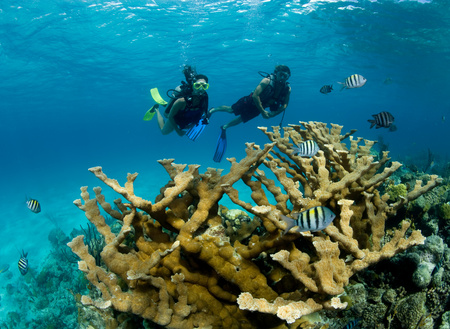 the americas: Divers and Elkhorn coral.