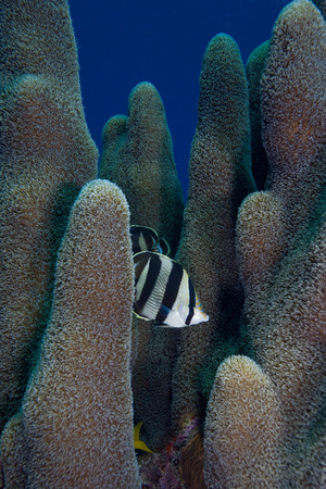 chaetodontidae: Butterfly fish in pillar coral.