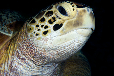 water feature: Close-up of green turtle,