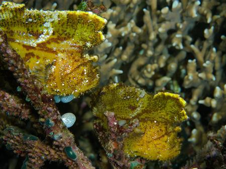 cropped shot: Pair of Leaf scorpionfish. LANG_EVOIMAGES