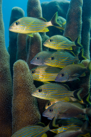 looking at viewer: Schooling fish.