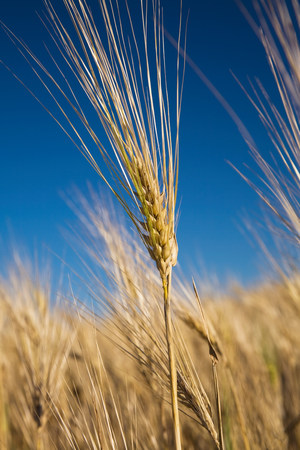 farmyards: Wheat plant LANG_EVOIMAGES