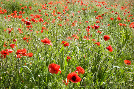 pastoral: Field of poppies