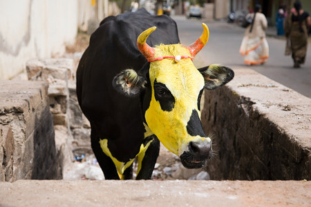 Cow painted yellow for pongal festival LANG_EVOIMAGES
