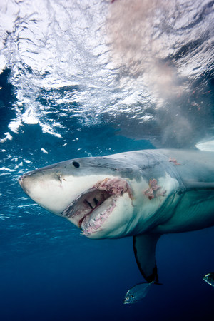 intimidated: Great White Shark