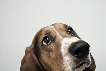 basset: Basset hound looking up LANG_EVOIMAGES