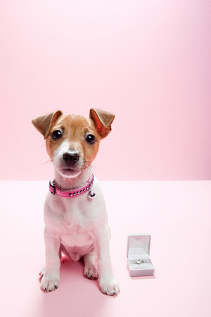 Jack russell puppy with engagement ring LANG_EVOIMAGES