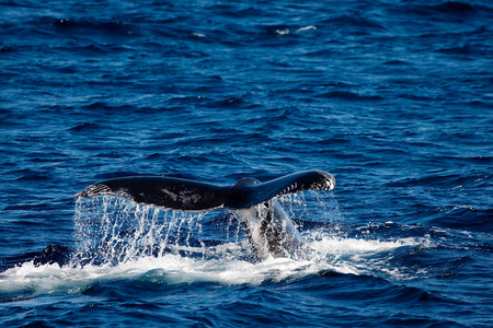 tonga: Behavior of Humpback whale.