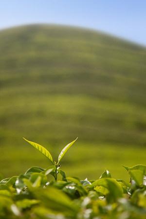 cropped shot: Tea leaf