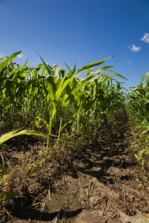 farmyards: Corn field