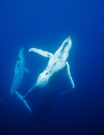 mammalia: Behavior of Humpback whales LANG_EVOIMAGES