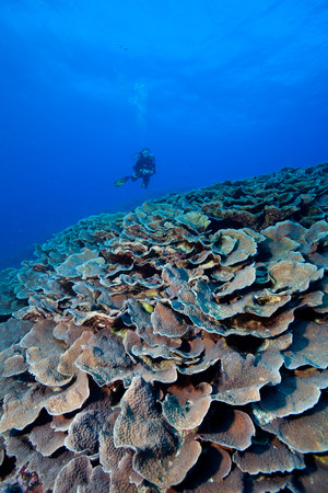 stony coral: Scuba diver and coral reef