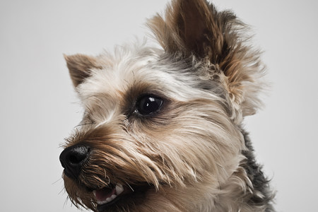 pooches: Yorkshire terrier LANG_EVOIMAGES